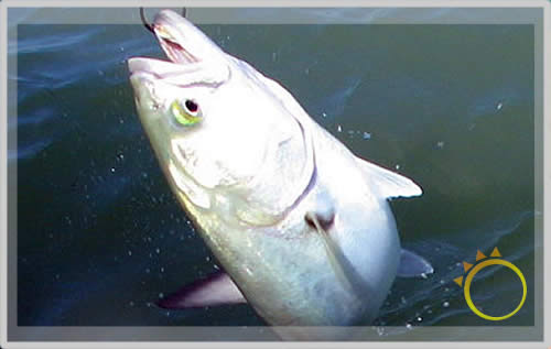 Index of insets big fish for Blue fish florida