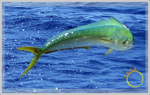 Mahi dorado or dolphin fish whats in a name for Dolphin fishing florida