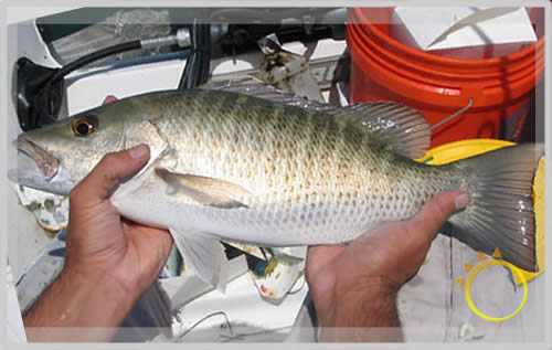 Index of insets big fish for Snapper fish florida