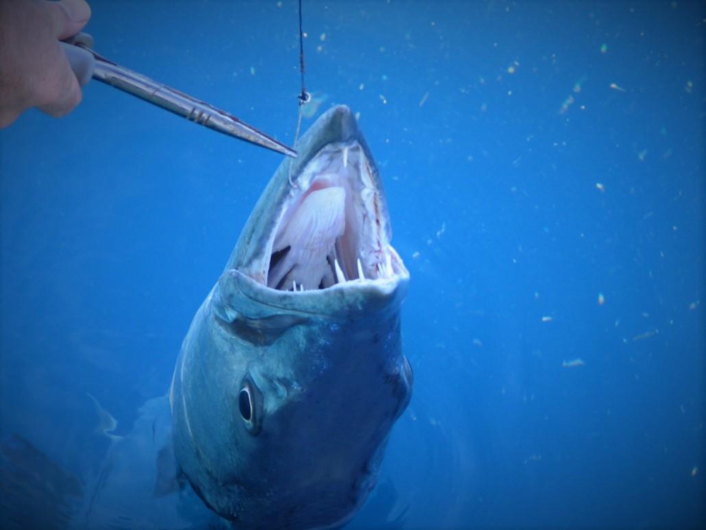 key-west-barracuda-fishing