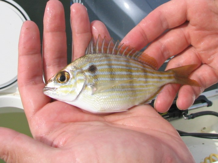 key-west-live-bait-fishing-pinfish