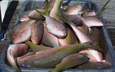 Yellowtail Snapper – Key West Yellowtail fishing
