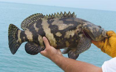 Jewfish, Golaith Grouper