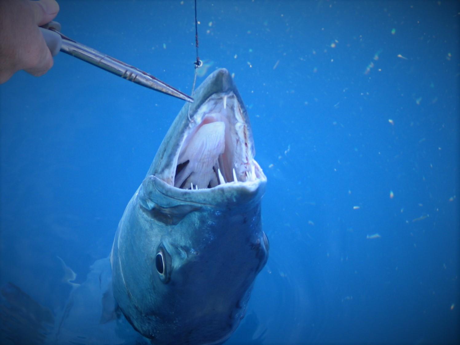 Barracuda - Fishing Charters In Key West