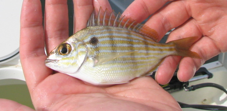 Pinfish, Sea Bream